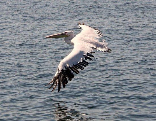 Namibia Kayak Tours: Pelican swooping in