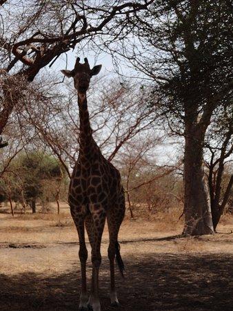 La Petite Cote, السنغال: Mademoiselle girafe