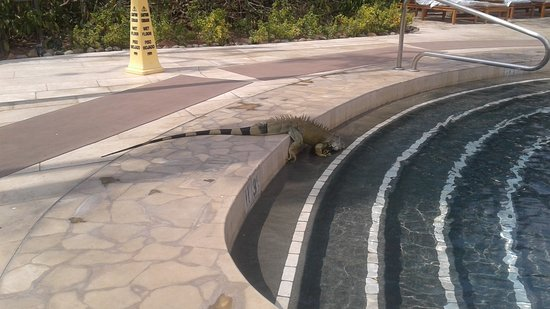 The Westin Golf Resort & Spa, Playa Conchal - All-Inclusive: Iguana visiting the pool