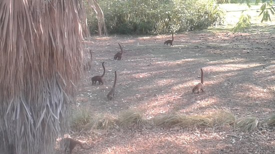 The Westin Golf Resort & Spa, Playa Conchal - All-Inclusive: Coatis roaming the grounds