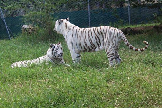 Casela Nature Parks: Tiger Safari