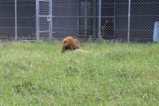 Casela Nature Parks: Lion Safari