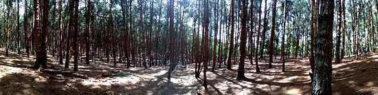 Pine Forest: panorama view inside the forest