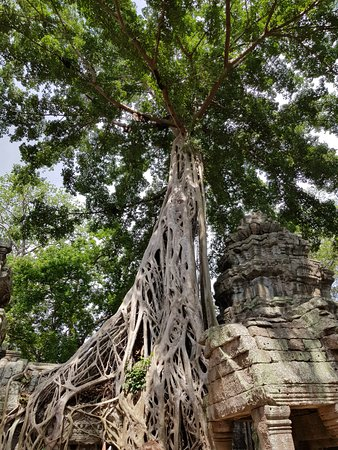 ปราสาทตาพรหม: another amazing tree root