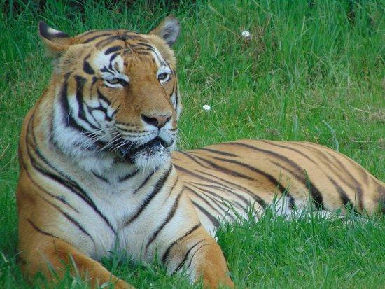 Planète Sauvage: Tigre présent dans le parc