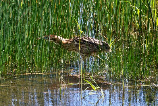 Westleton, UK: Bittern