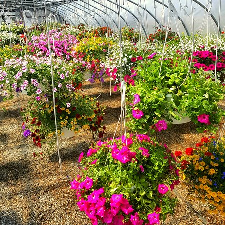 White Post, เวอร์จิเนีย: Hanging flowers are a popular item at Shen-Val. Plus the greenhouse is beautiful to walk through