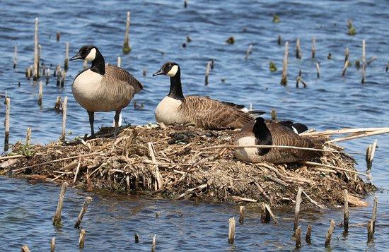 Seneca Falls, Νέα Υόρκη: Geese were everywhere.