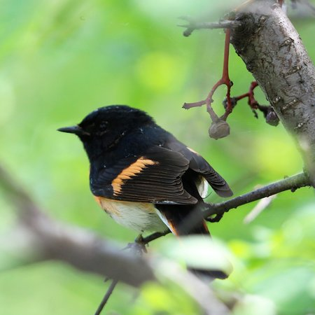 Sault Ste. Marie Canal National Historic Site : American Redstart (male) that landed a few feet from us