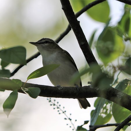 Sault Ste. Marie Canal National Historic Site : Red-eyed Vireo that landed a few feet from us