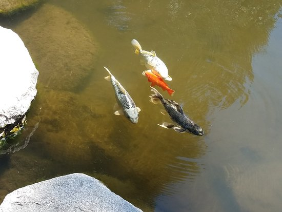 Twin Peaks, Californien: Koi everywhere and they have fish food in the office!