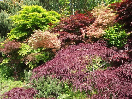 Colwall, UK: Acer display - May 2018, Picton Garden