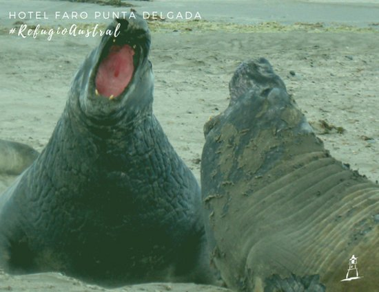Punta Delgada, Argentina: Elefantes marinos.