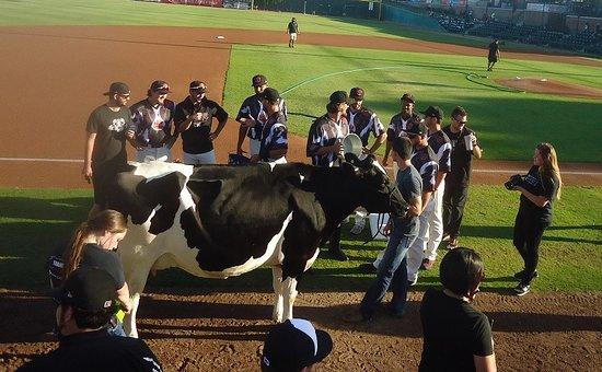 Rawhide Ballpark: Holy Cow !