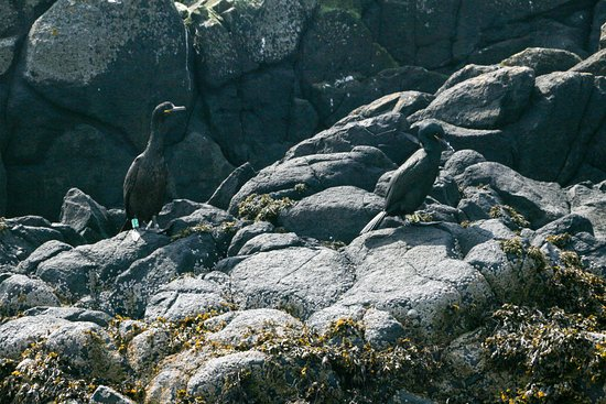Osprey of Anstruther Day Tours: Shags