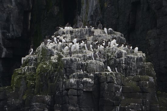 Osprey of Anstruther Day Tours: Guillemots Rousting.