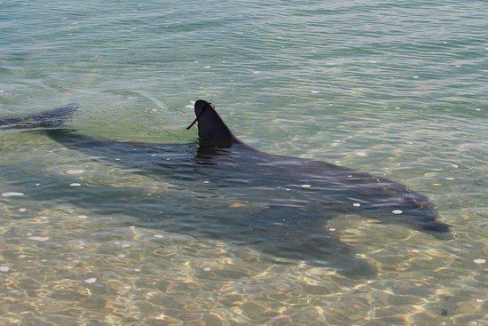 Monkey Mia Reserve: Dolphin at Monkey Mia