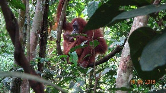 Thomas Jungle Tours : Orangutan with baby