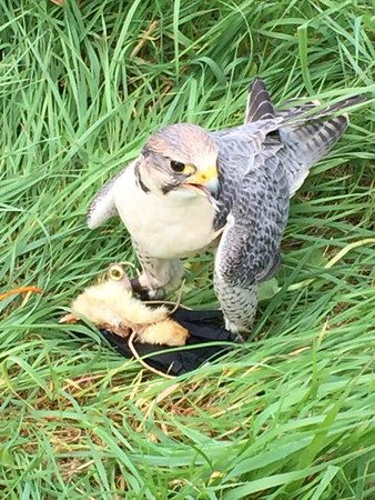 Dublin Falconry: amazing falcon