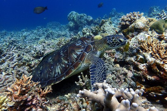 AivyMaes Divers Dauin: Hawksbil Turtle. Reef Diving Dauin