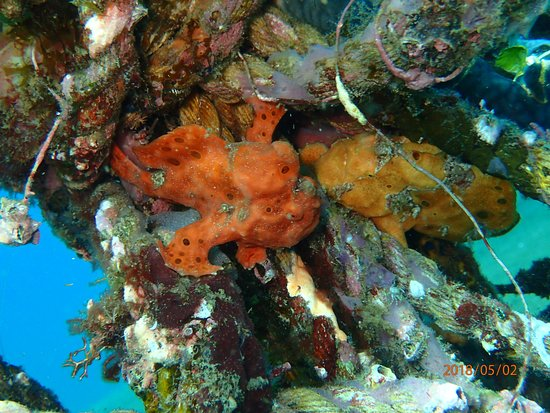 AivyMaes Divers Dauin: Frogfish couple. Muck Diving Dauin