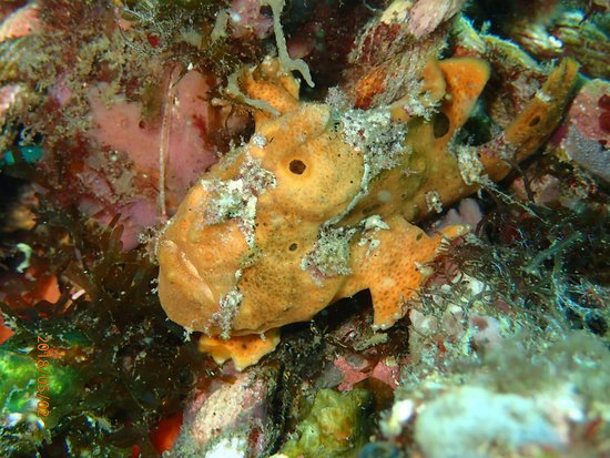AivyMaes Divers Dauin: Orange Frogfish. Muck Diving Dauin