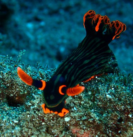 AivyMaes Divers Dauin: Nembrotha Nudi, super beauty! Muck diving Dauin