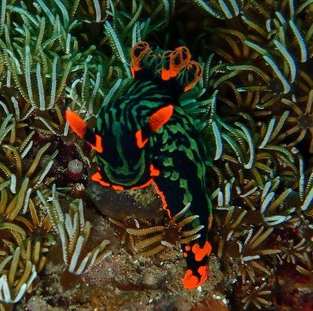 AivyMaes Divers Dauin: Nembrotha Nudi, super beauty! Muck diving Dauin
