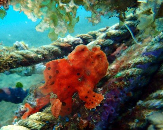 AivyMaes Divers Dauin: Beautiful Frogfish. Muck Diving Dauin