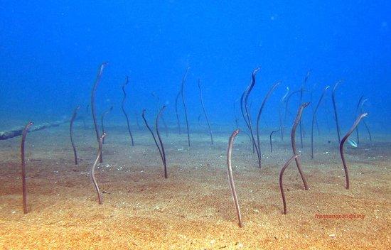 AivyMaes Divers Dauin: Garden Eels. Dauin Muck Diving