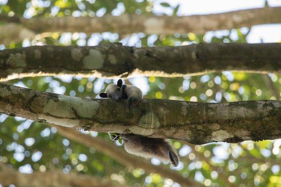 Surcos Tours: Lesser Anteater