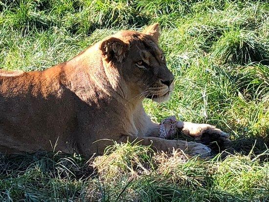 Paradise Valley Springs Wildlife Park: Lion feeding