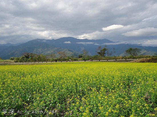 Taitung Brown's Road: 油菜花田