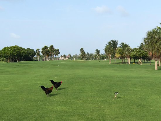 North Sound Golf Club: Why did the chickens cross the fairway?