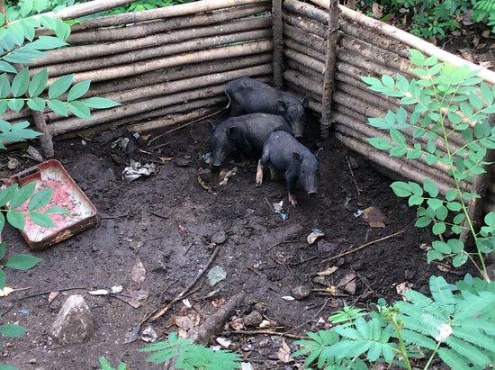 Murondao Waterfall: Pigs looking happy