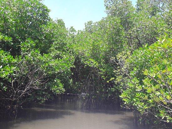 Bentota River: мангровые леса
