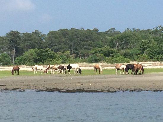 Saltwater Pony Tours : Chincoteague Ponies