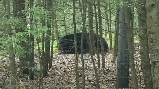 Greentown, PA: Seen a huge bear at the parking lot of the hike at Tree Tower trail.