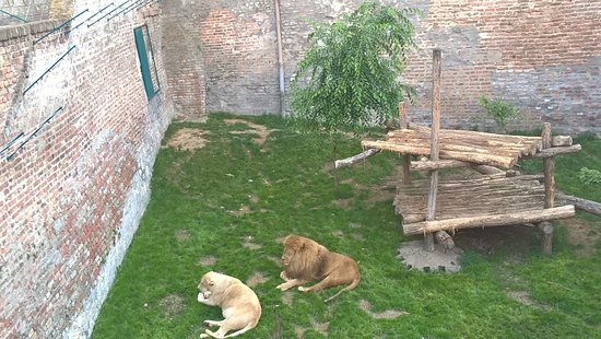Belgrade Zoo: Lion and lioness