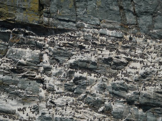 South Stack Cliffs RSPB Reserve: Guillemots