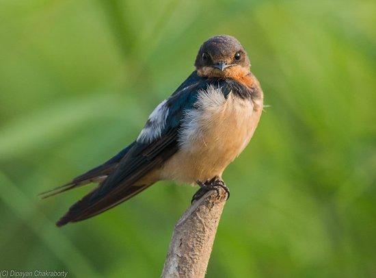 Mangalajodi: Barn Swallow