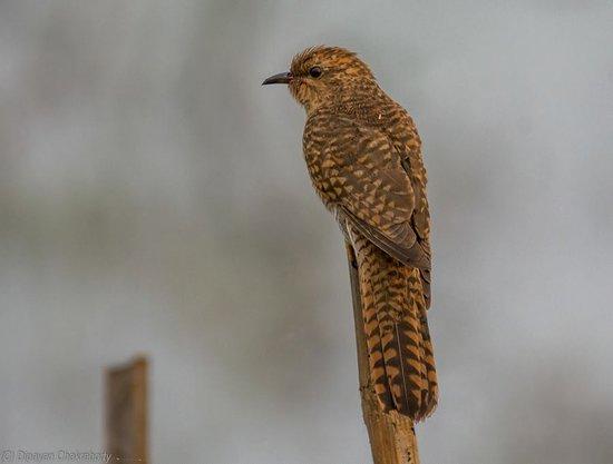 Mangalajodi: Plaintive Cuckoo