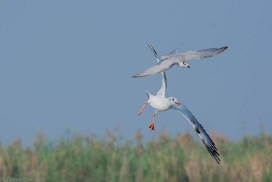 Mangalajodi: Gull & Tern