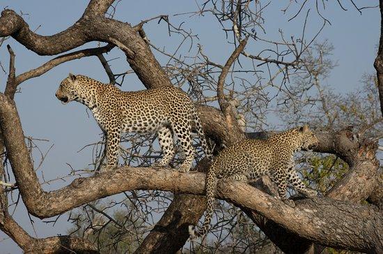 Chitwa Chitwa : Leopards