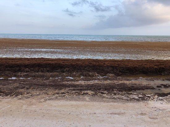 Secrets Cap Cana Resort & Spa: Hotel Beach Seaweed invasion