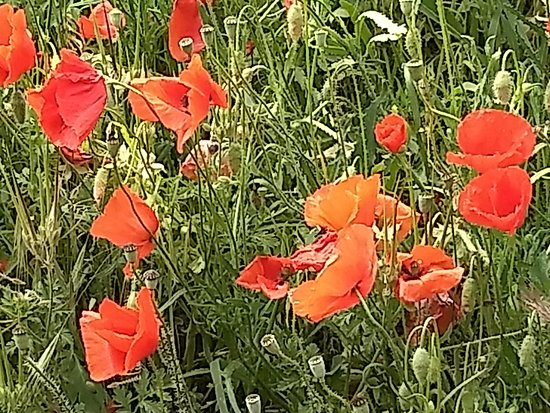 Provence Tours : Poppies!