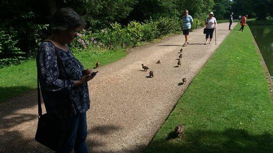 Baddesley Clinton: rogue ducklings