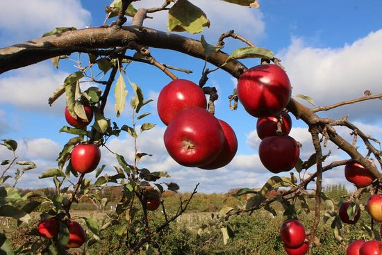 Omena, MI: our apple trees