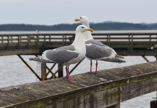 The Sidney Pier Hotel & Spa: Western Gulls on the Pier