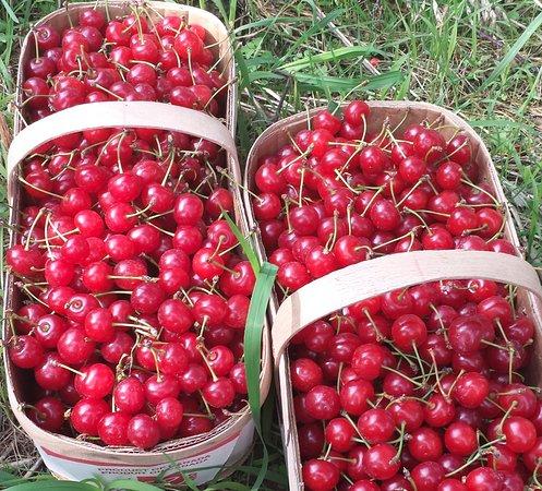 20 Valley Harvest Farms: Sour Cherries, also called Tart Cherries!